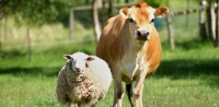 skórowanie różnych zwierząt takich jak: owce, świnie, krowy, konie, kury.