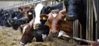 praca-na-farmach-mlecznych-szkocja-488