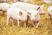 praca-na-farmie-swin-anglia